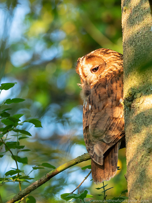 parent tawny owl in evening light near Clun-4 - Olympus Wildlife