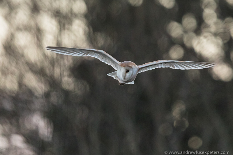 Barn owl at dusk South Shropshire 2 - UK Owls