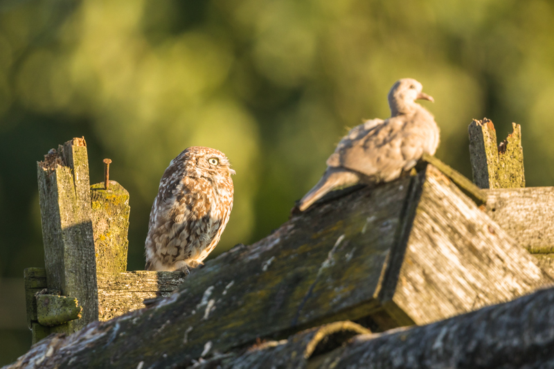 Little owl and collared dove 1 - UK Owls