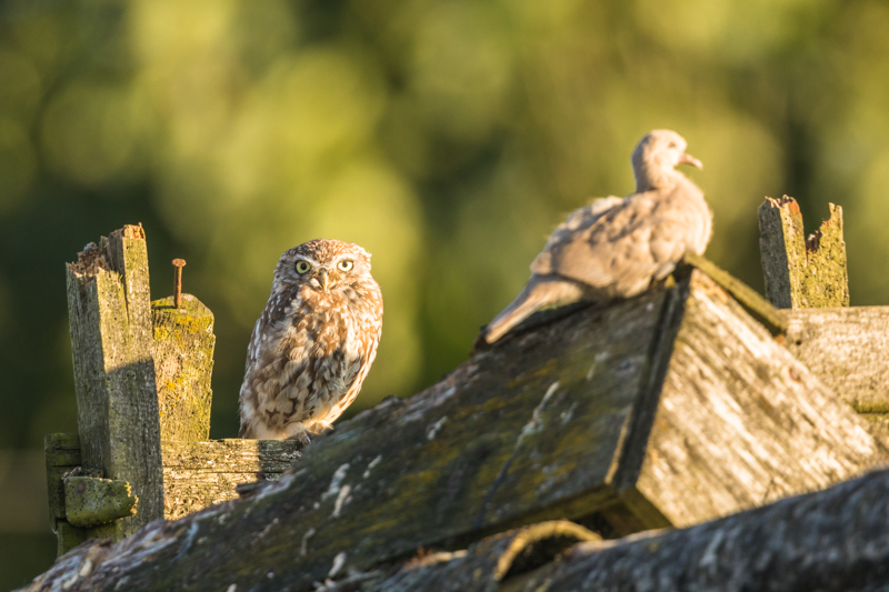 Little owl and collared dove 2 - UK Owls