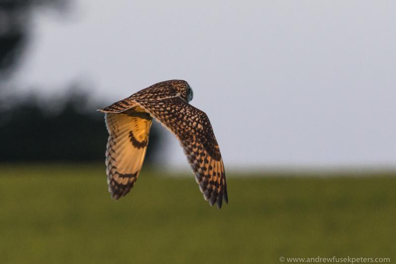 Short-eared owl sunset 5 - UK Owls