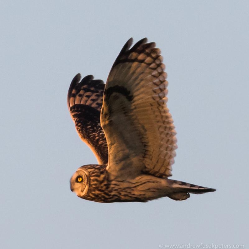 Short-eared owl, Oakley Mynd - Upland, Shropshire's Long Mynd & Stiperstones