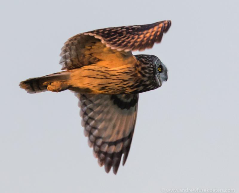 short eared owl sunset 4 - UK Owls