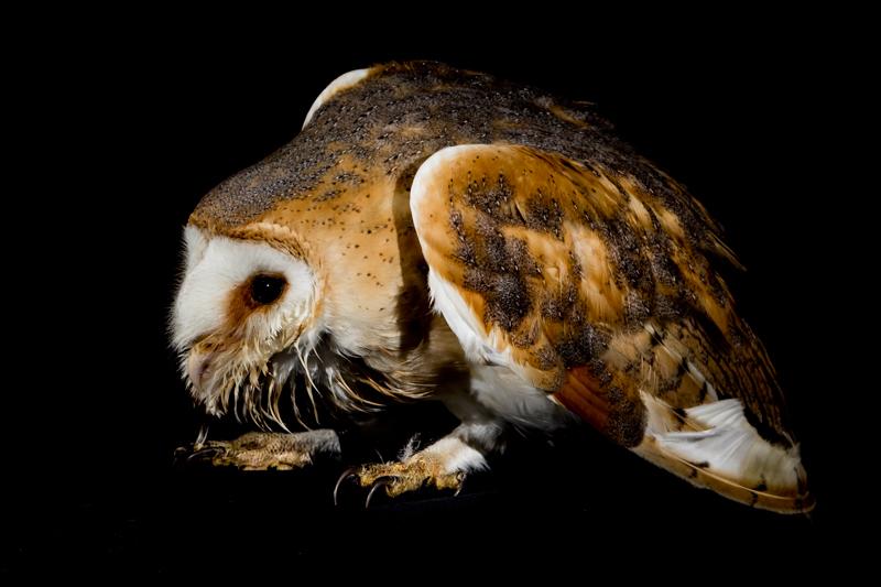 Bolshy barn owl - Cuan Wildlife Rescue