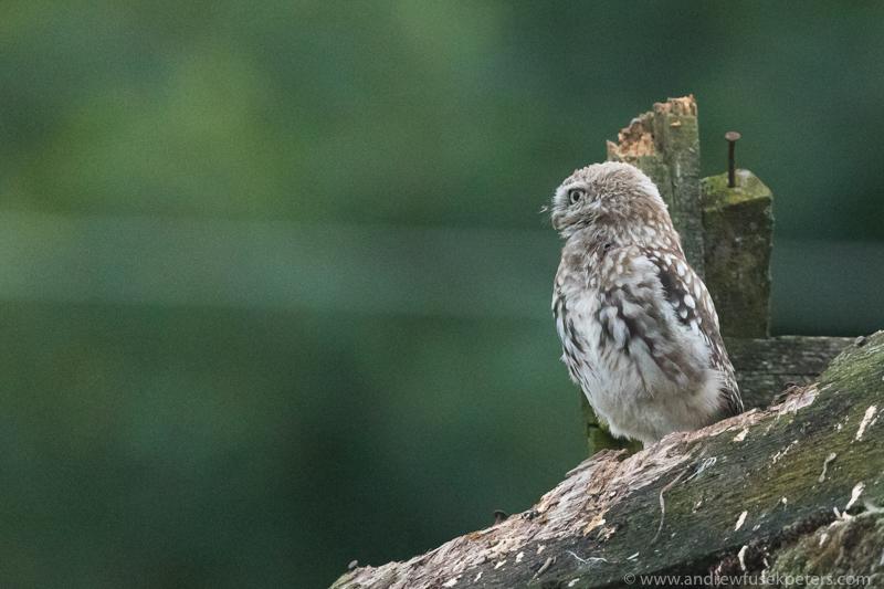 Little owl perch 1 - UK Owls