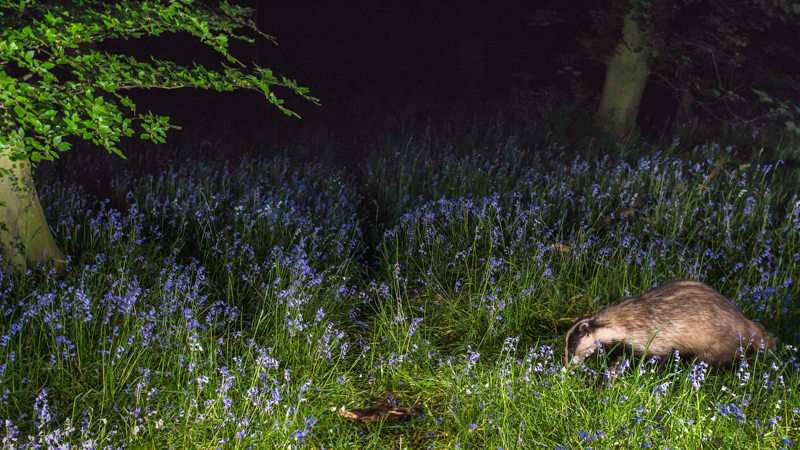 Badger in the bluebells - Wide-angle Wildlife