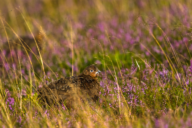 Grouse in the heather - Upland, Shropshire's Long Mynd & Stiperstones