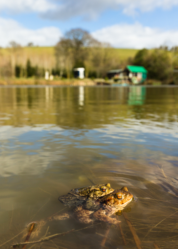 Mating toads Bridges - Wide-angle Wildlife