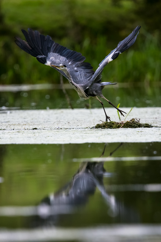 Heron take-off Walcot Lake - Wilderland, Wildlife & Wonder from the Shropshire Borders