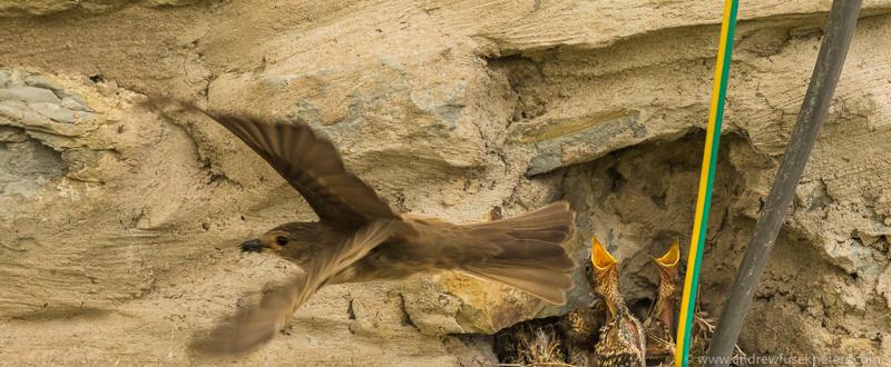 Flycatcher leaving nest - Garden Birds