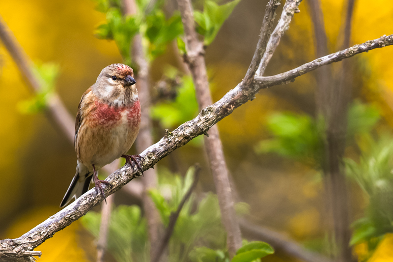 Linnet on the Stiperstones - Upland, Shropshire's Long Mynd & Stiperstones