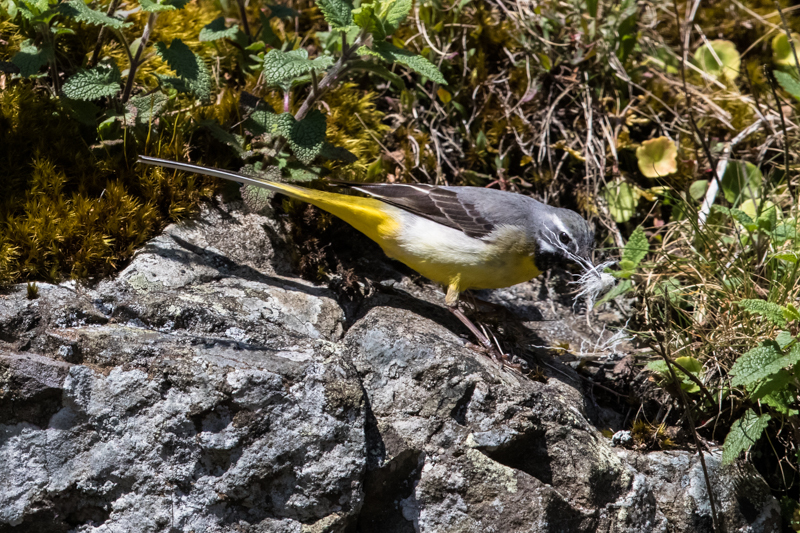 Grey wagtail with nesting material - Upland, Shropshire's Long Mynd & Stiperstones