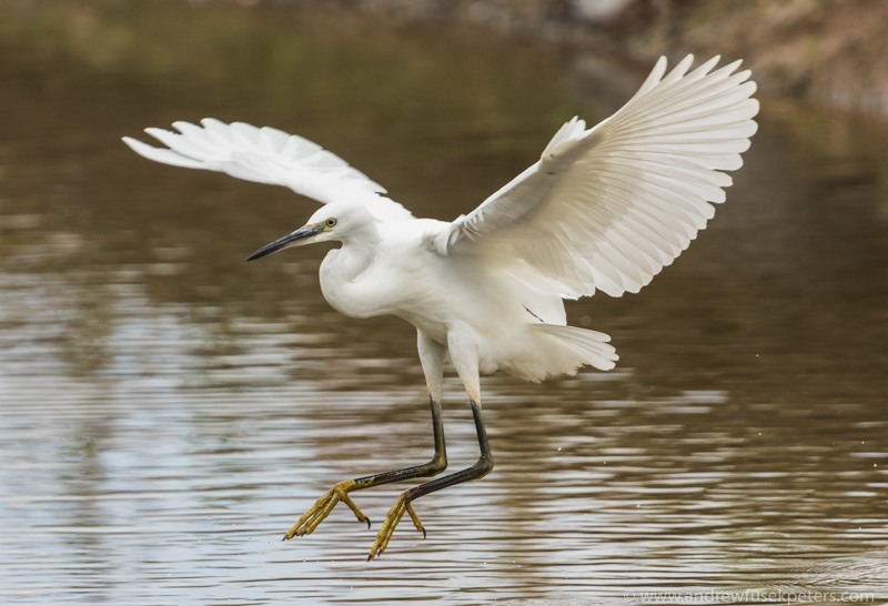 Little egret Venus Pool - UK Birds
