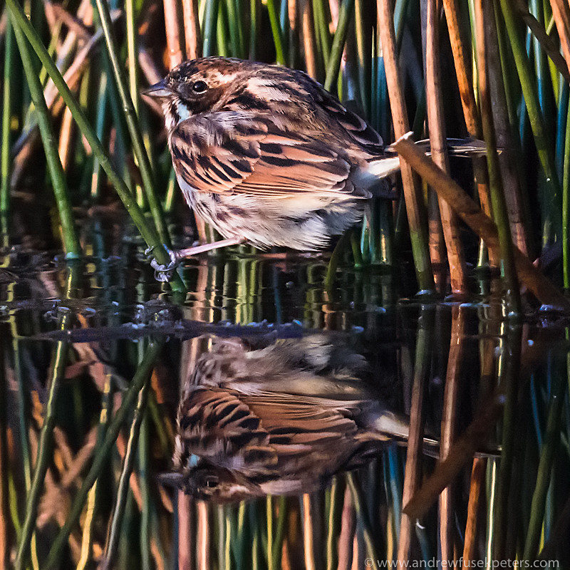 Reed bunting, Long Mynd - Upland, Shropshire's Long Mynd & Stiperstones