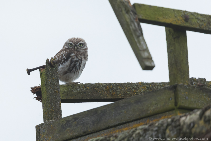 Little owl on roof - UK Owls