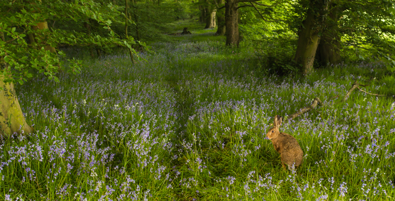 Hare in the bluebells - Wide-angle Wildlife
