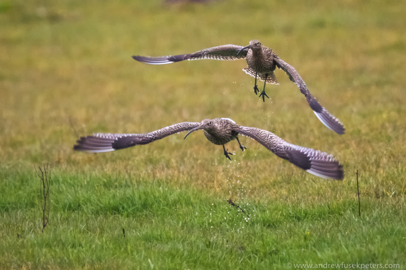 pair of curlews flying from a flush - UK Birds
