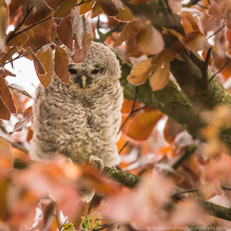 tawny chick close up portrait in the leaves - UK Owls