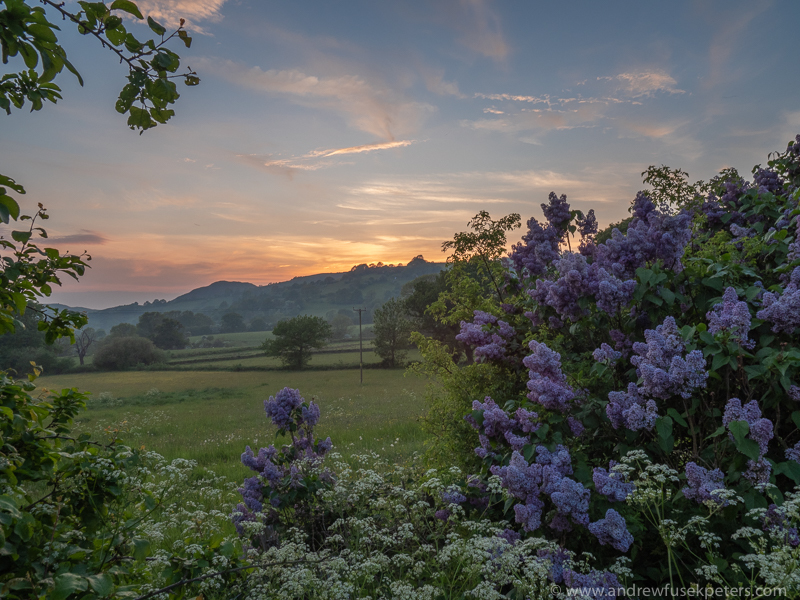 the lavender bush and the sunset - Olympus Landscape