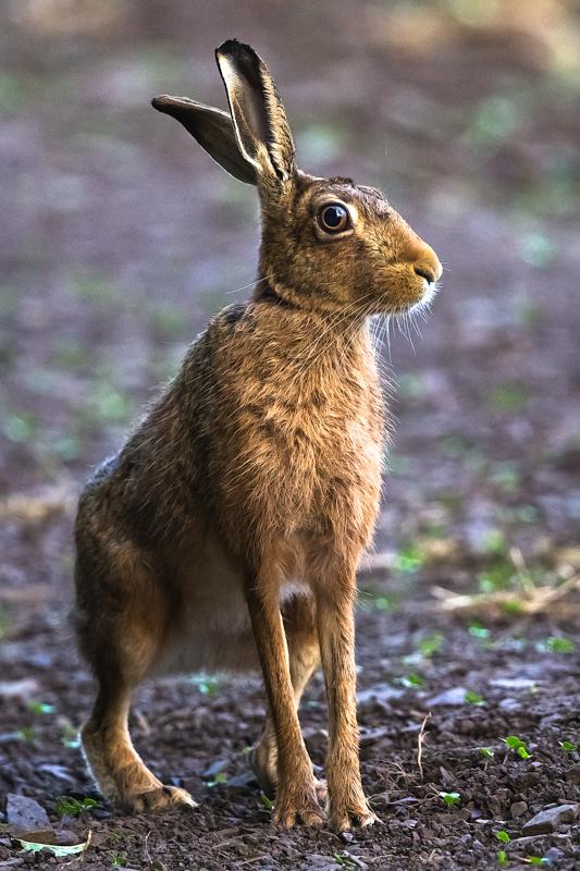 Hare portrait - Hares