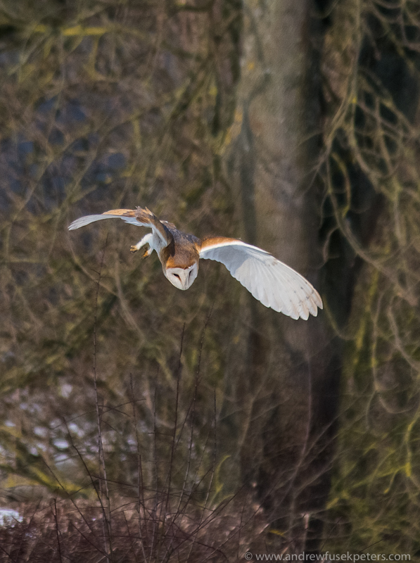Barn owl diving 5 - UK Owls