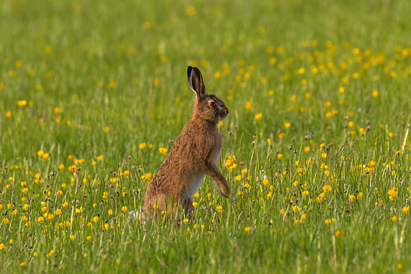 leveret in the meadow - Hares