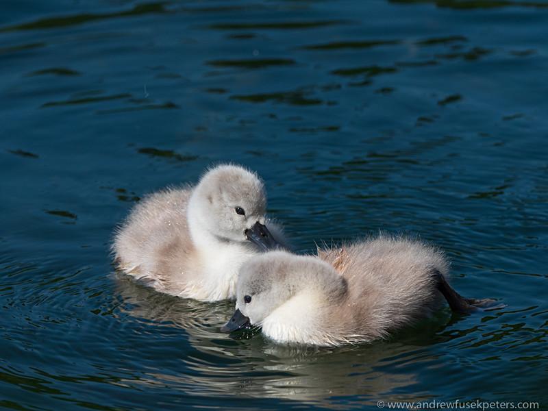 a pair of cygnets on Walcot Lake - Olympus Wildlife