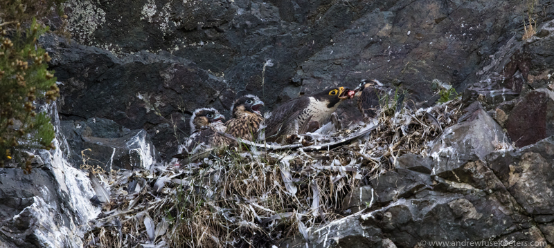 Peregrine chicks on nest Wrekin public site - UK Birds of Prey