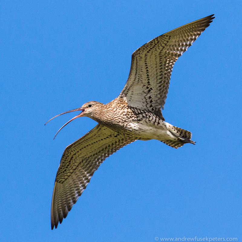 curlew in flight near Stiperstones - UK Birds