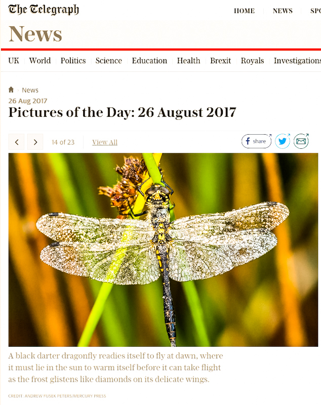 Frost encrusted dragonfly Daily Telegraph-1 - Media & Awards