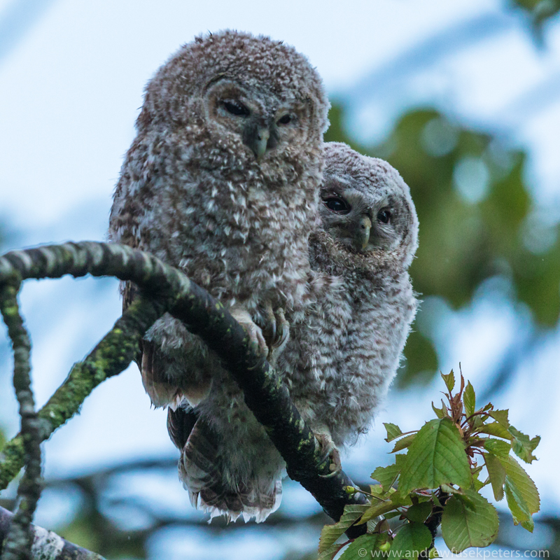 Tawny chicks at dusk - The Hill & Vale of Home