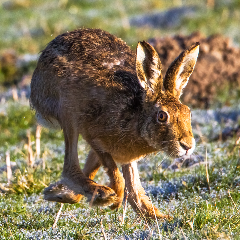 Running hare - Hares