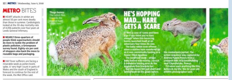 Metro Hare attacked by rabbit June 2018 - Olympus Wildlife