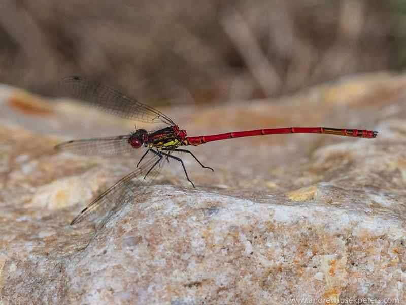 large red damsefly take off - Olympus Wildlife