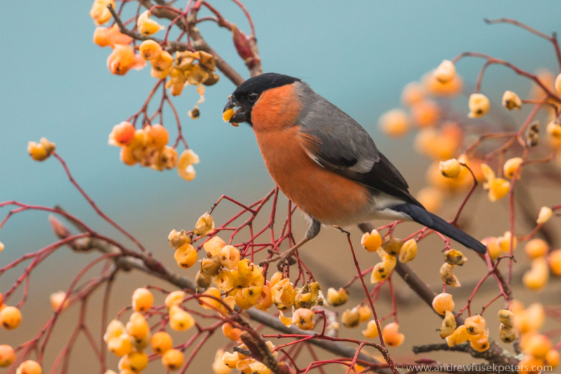 Male bullfinch with berries at Newtown - UK Birds