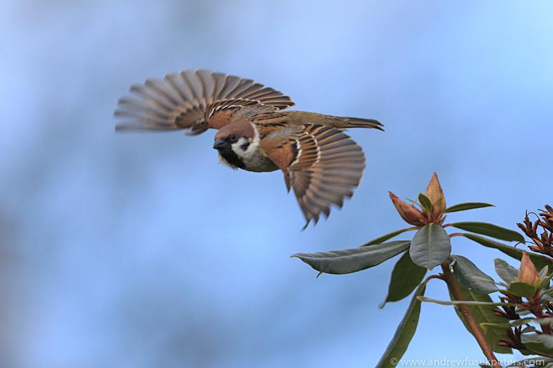 tree sparrow take off - Garden Birds
