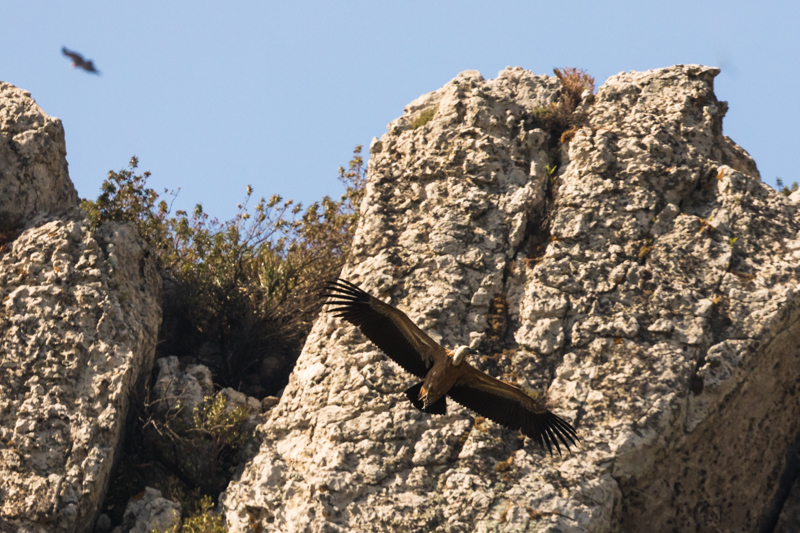 Griffon vulture colony near Tarifa-4 - Spain and Vulture/Eagle Migration October 2017