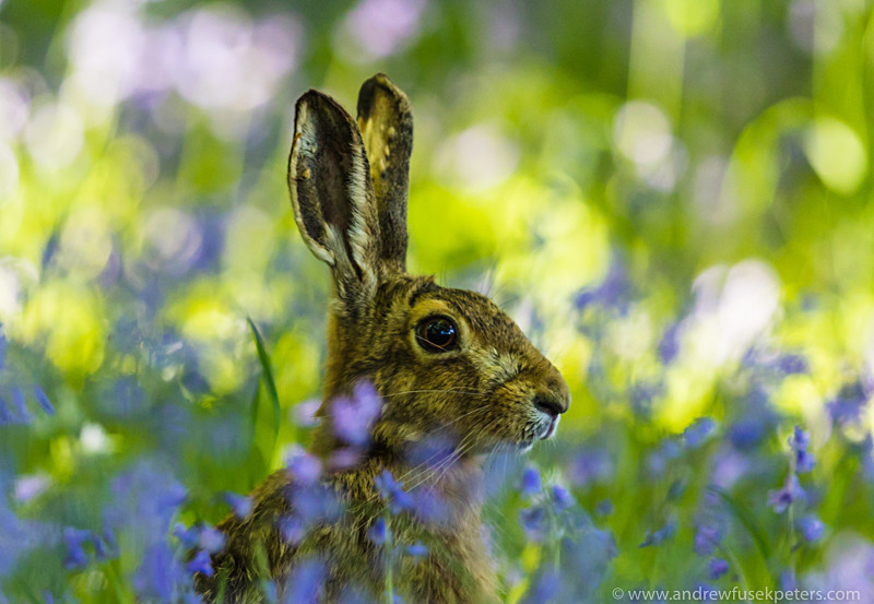 Hare in the bluebells - The Hill & Vale of Home