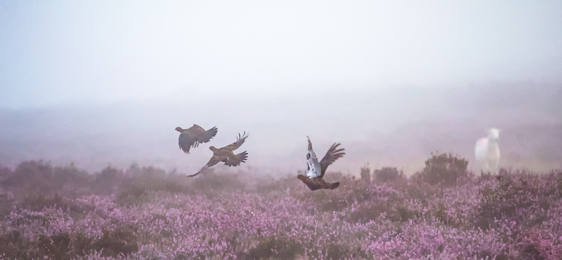Red grouse in the mist - Wilderland, Wildlife & Wonder from the Shropshire Borders