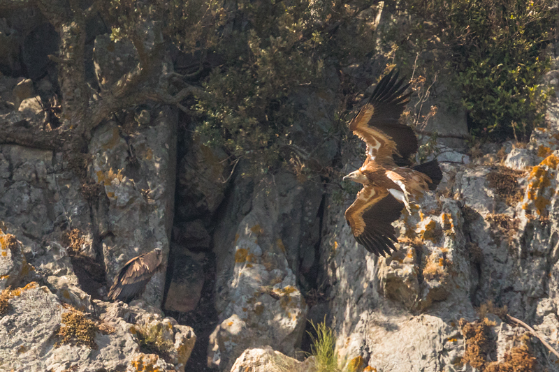 Griffon vulture colony near Tarifa-3 - Spain and Vulture/Eagle Migration October 2017