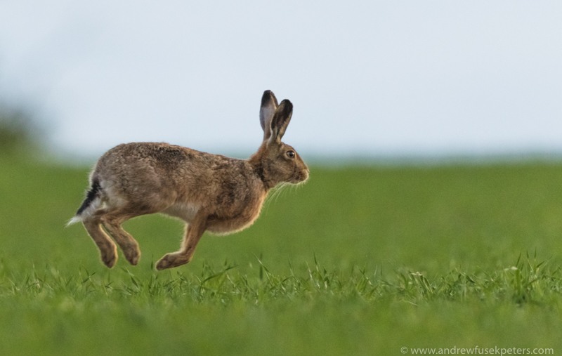 the leaping hare - Hares