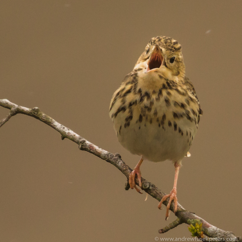Tree pipit in song Long Mynd - UK Birds