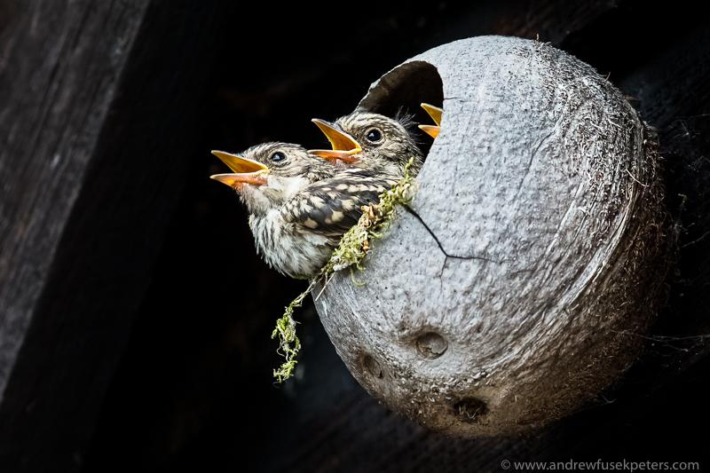 3 flycatcher chicks - Garden Birds
