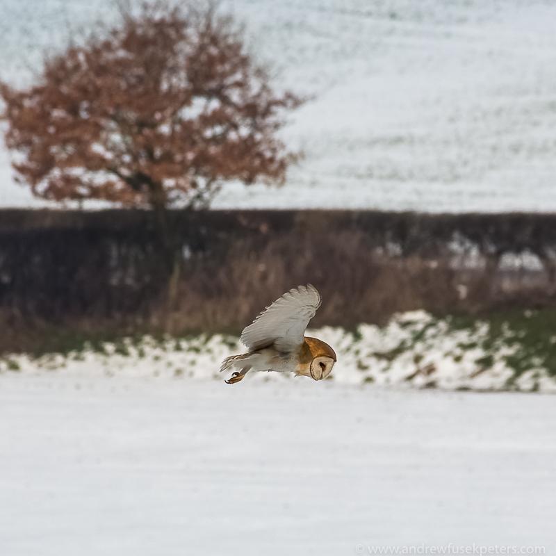 barn owl hover 6 - UK Owls