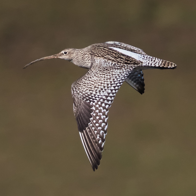 Curlew in flight near Bridges - Upland, Shropshire's Long Mynd & Stiperstones