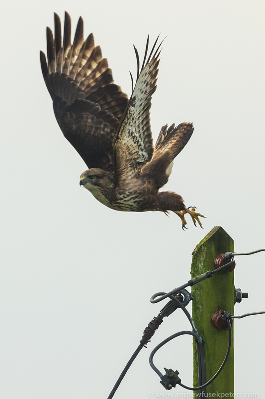 buzzard take off 2 - UK Hawks
