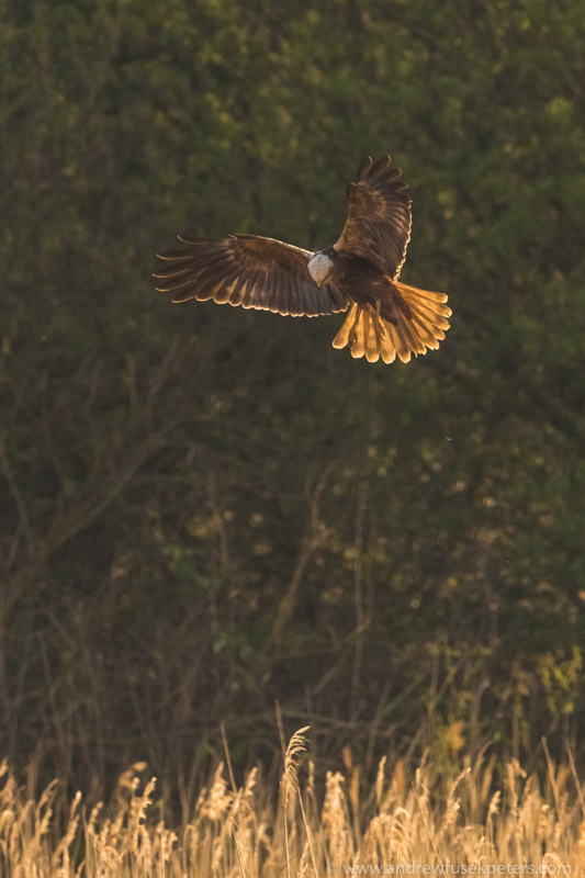 far ings marsh harrier hovering - UK Hawks