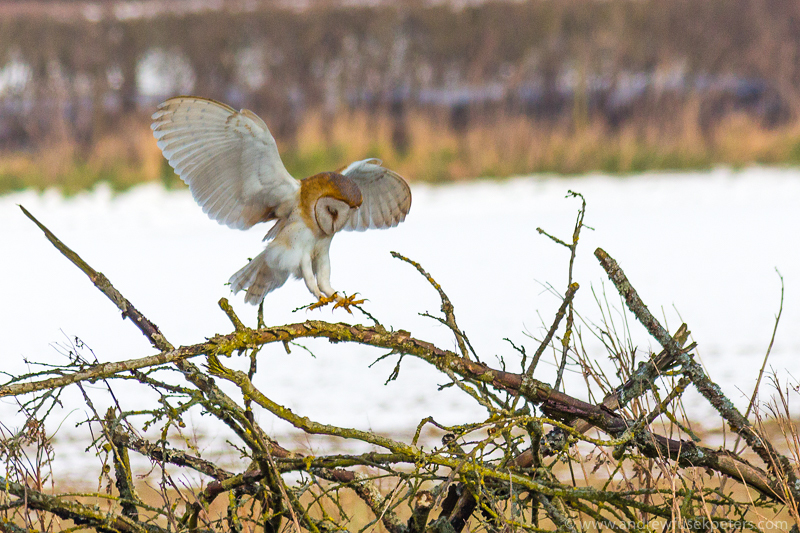 Barn owl landing on brash 8 - UK Owls