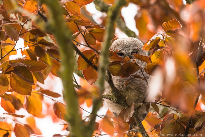 Tawny chick in a tree - UK Owls
