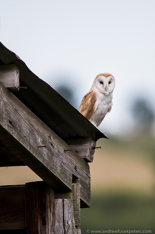 barn owl on shed at dawn - UK Owls